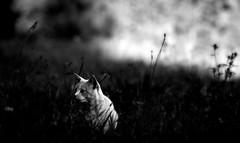Waiting in the shadows (Zèè) Tags: chat cat cats contrast black blanc bw blackandwhite noir noirblanc normandy natur white nature monochrome