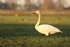 Kleine Zwaan - Cygnus columbianus bewickii - Bewick's Swan (merijnloeve) Tags: kleine zwaan cygnus columbianus bewickii bewicks swan polder binnentiendwegs hardinxveld giessendam licht light weiland nederland holland