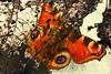 Winter exposure... (Kate#2112) Tags: macromondays doubleexposure butterfly horse raddish plant leaf winter
