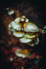 Blobs (Viv Lynch) Tags: canada britishcolumbia vancouver vancity westcoast pacificspiritregionalpark forest park trees outdoor hiking bc pacific nature mushroom fungi mycology mushrooms fungus