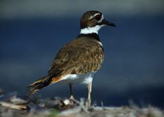 Killdeer (pattyannemac) Tags: plover killdeer beachbird striped mediumbird bird rural farming