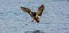 Landing on the loch (Thunder Eck) Tags: duck landing lochlomond luss loch