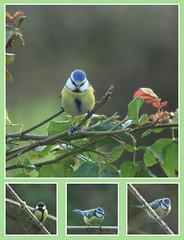 Montage mésanges. (Crilion43) Tags: arbres région véreaux feuillesfeuillage mésanges héron oiseaux centre plume rosier animaux paysages villes