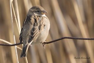 Moineau domestique femelle, House Sparrow female