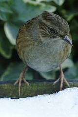 _DSC8563 - Dunnock (steve R J) Tags: dunnock garden birds british snow