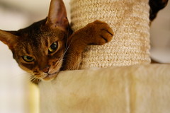 Do you want to play? You scratch me and I'll scratch you... (DizzieMizzieLizzie) Tags: abyssinian aby beautiful wonderful lizzie dizziemizzielizzie portrait cat chats feline gato gatto katt katze katzen kot meow pisica sony animal pet 2017 cute yellow neko macska kedi 猫 kočka kissa γάτα köttur kucing kaķis katė кошка mačka gatos kitteh chat ネコ beauty a6500 zeiss 55mm ilce6500 ilce sel55f18z sonnar awesome digital golden style sport scratching tree sybarite fight