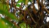 Stratford Butterfly Farm: parakeet feeding young (Dave_A_2007) Tags: psittaculakrameri bird nature ringneckedparakeet wildlife stratforduponavon warwickshire england