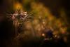 La nigelle de Damas (Thomas Vanderheyden) Tags: bokeh colors couleur fleur flora flore flower fujifilm garden jardin light lumière macro nature ornement tamron90mm thomasvanderheyden vegetal xt1