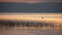 Haubentaucher bei Sonnenaufgang (IIIfbIII) Tags: tollensesee light sun fog dunst sonnenaufgang mecklenburg neubrandenburg nature haubentaucher lake see water sunlight bird