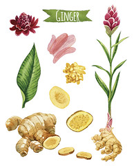 516217216 (cromosonline) Tags: singleflower clippingpath healthyeating dieting vegetarianfood singleobject illustration crosssection scented outline pickled watercolorpainting ginger cutting yellow white red pinkcolor greencolor brown slice botany nature spice leaf ripe crop flower plant drawingartproduct design paint food handpainted rhizome folkmedicine juicy isolated raw