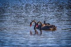 """33"" (Shutterbytes by Michele Hamilton) Tags: 33 australia june2015 newsouthwales nowra springsresortshoalhaven anniversary blackswans golfcourse pond reflection stockphoto swimming birds nature"