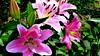 """Z albumu """"Lilie""""nr.51 (andrzejskałuba) Tags: polska poland pieszyce dolnyśląsk silesia sudety europe panasoniclumixfz200 roślina plant kwiat flower lilia lily różowy pink zieleń green garden ogród natura nature"""