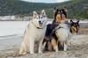 Hi Nora! photobomb (shila009) Tags: perros dogs roughcollie siberianhusky leia laska nora beach playa sand arena airelibre husky portrait happydogs photobomb