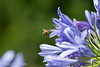 Adelaide Botanic Gardens (Chooky1975) Tags: nature botanic gardens adelaide south australia sigma flowers colours flora bee agapanthus