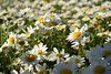 (görkemsakarya) Tags: ngc papatya daisy derinlik depth sun güneş sunlight ışığı macro photography makro