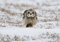Short-eared Owl with captured Vole (Thomas Muir) Tags: asioflammeus hunting woodcounty bowlinggreen ohio midwest nikon d800 600mm animal outdoor nature raptor snow winter