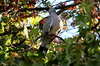 Looking sharp (Rukhsana Ashraf) Tags: tree green sun habitat pigeon leaves people park london europe travel tourism serene open space nature sky bird beauty nest colours photosynthesis city sunshine bright beak branch fruit air