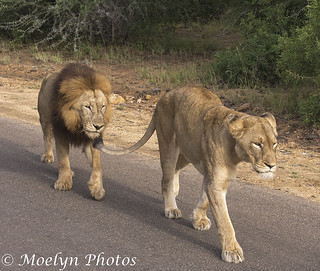 Lion Pair Walking