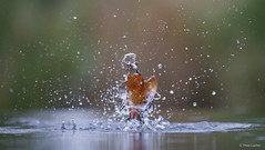 Kingfisher dive-1385 (Theo Locher) Tags: ijsvogel kingfisher eisvogel martinpecheur alcedoatthis vogels birds vogel oiseaux netherlands nederland copyrighttheolocher