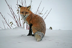 Silent Night (marylee.agnew) Tags: red fox vulpes silent night holiday snow quiet peace nature wildlife urban outdoor animal