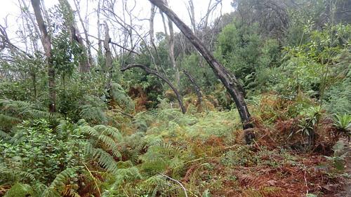 La Gomera (Spain's Canary Islands) - Parque Nacional de Garajonay: Laurel rain forest