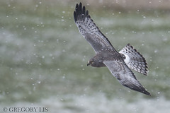 Northern Harrier (Gregory Lis) Tags: northernharrier circuscyaneus boundarybay delta britishcolumbia gorylis gregorylis grzegorzlis nikond810 nikon