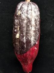 Cacao (Theobroma cacao): Black pod rot (Scot Nelson) Tags: cacao theobroma pod rot phytophthora palmivora inoculation