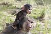 How you doing up there buddy? (San Diego Shooter) Tags: hamadryasbaboon baboon babyanimal sandiego sandiegozoo animal portrait bokeh monkey uncool uncool2 uncool3 uncool4 uncool5 uncool6 uncool7 uncool8 cool