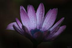 Jours gris, jours de pluie ... (martine_ferron) Tags: fleur pluie gouttes margueriteducap mauve