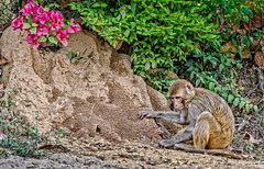 monkey near the World Peace Stupa (Pejasar) Tags: monkey temple stupa worldpeacestupa newdelhi india flower bloom blossomflower grounds mammal