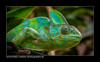 Jemen-Chamäleon (Chamaeleo calyptratus) (H. Roebke) Tags: grün 2014 reptilie chamäleon tiere nature hagenbeck color natur canon7d green fauna canon100mmf28makrolisii lightroom animal