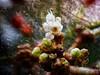 Icy World (BeMo52) Tags: adoxaceae bütenstand flora garten flowers leatherleaf viburnum macro makro moschuskrautgewächse natur nature schneeball blüte ziergehölz zungenschneeball tree shrub blume runzelblättrigerschneeball ice eis kristalle luftblasen immergrün evergreen macromondays doubleexposure winter