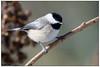 Carolina Chickadee DSC_2113 (blindhogmike) Tags: chickadee vogel oiseau pájaro