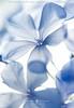 periwinkle flowers (Frank Boston Photographie) Tags: flower background beauty blossom botanical bouquet closeup flora floral floralpattern flowerhead fragility fragrant gardening group hydrangea macro nature petal pink simplicity temperateflower texture