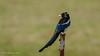 Yellow-billed Magpie (Bob Gunderson) Tags: birds california corvids coyotevalley northerncalifornia picanuttalli santaclaracounty southbay yellowbilledmagpie