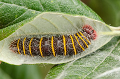 DSC_4863 (DigiPhotus) Tags: digiphotus lagarta caterpillar macro macrodreams insect insectos inseto insetos insetto insekt insecte insekter insekten insekte insecten insetti insektet insectes izimbali