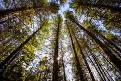 Toothpicks (Richard McGuire) Tags: bc britishcolumbia osoyoos toothpicks trees