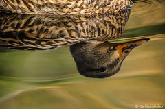 Irvine Regional Park - Mallard Hen Reflection_5092 (www.karltonhuberphotography.com) Tags: 2017 abstract bathing bird birdphotography closeup details duck facingright female fieldmarkings hen horizontalimage interestingangle interestingperspective intimate irvineregionalpark karltonhuber lake light mallard mallardanasplatyrhynchos nature outdoors park partialbody pond reflection ripples southerncalifornia swimming water waterwildlife