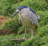 JWL8147  Black Crowned Night Heron.. (jefflack Wildlife&Nature) Tags: heron herons blackcrownednightheron birds avian animal animals wildlife wildbirds waterbirds wetlands waders lakes waterways ponds migrants reservoirs countryside nature ngc npc