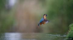 Kingfisher dive-1415 (Theo Locher) Tags: ijsvogel kingfisher eisvogel martinpecheur alcedoatthis vogels birds vogel oiseaux netherlands nederland copyrighttheolocher