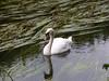 Elegance (Lexie's Mum) Tags: walk walking nature countryside warwickshire swan river
