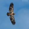 American Bald Eagle (sbuckinghamnj) Tags: eagle baldeagle americanbaldeagle raptor newjersey