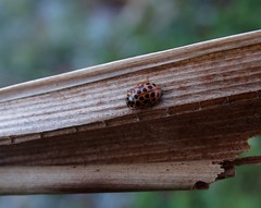 What a ladybird! Or 'Water ladybird'?! 😉 (rockwolf) Tags: anisosticta19punctata waterladybird coccinellidae coleoptera beetle insect coccinelle brownmoss shropshire rockwolf