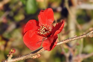 Beautiful Quince Blossom