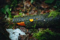Ice & Jelly (Viv Lynch) Tags: canada britishcolumbia vancouver vancity westcoast pacificspiritregionalpark forest park trees outdoor hiking bc pacific nature mushroom fungi mycology mushrooms fungus