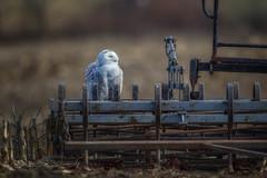 Snowing at the farm (Mike Bader) Tags: ohiowildlife ruralohio ohiobirds ohio snowyowls owl raptor birds birdsofprey birdphotography avian avianphotography irruption snowowlirruption amishfarm
