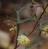 Grevillea synapheae ssp synapheae, Avon Valley National Park, near Toodyay, WA, 18/10/17 (Russell Cumming) Tags: plant grevillea grevilleasynapheae grevilleasynapheaesynapheae proteaceae avonvalleynationalpark toodyay northam westernaustralia