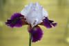 RUS62873(Magic Wings. Iris) (rusTsky) Tags: plant nature iris blossom yellow violet purple bokeh canon eos5dmarkiii beauty closeup art