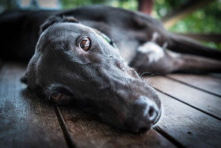 Thunder the Greyhound
