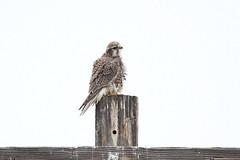 Prairie Falcon (Falco mexicanus), Ringer Loop Road (jlcummins - Washington State) Tags: bird raptor washingtonstate kittitascounty wildlife prairiefalcon